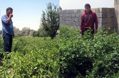 Сравнение эффекта биоудобрений на помидоры